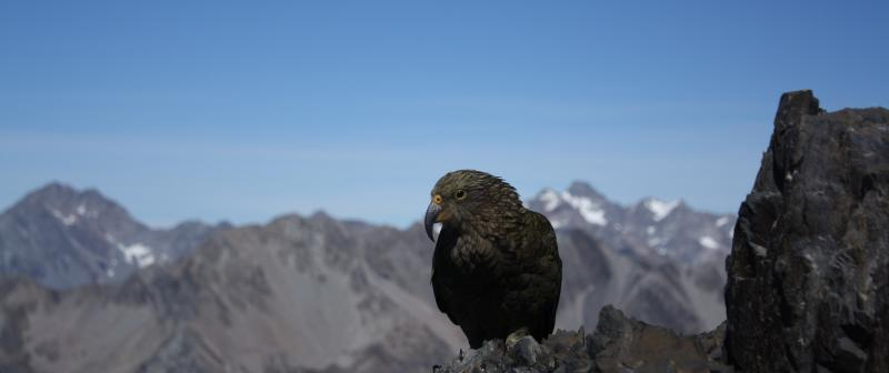 Kea on the rocks - Nathan W